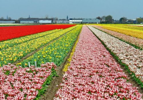 Flower fields in Leiden