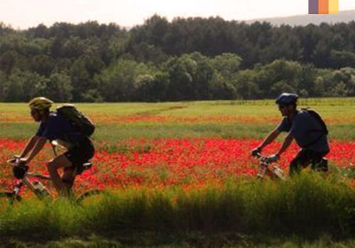 Cyclists ride along the poppies fields