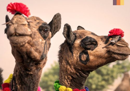 Picture of Indian camels