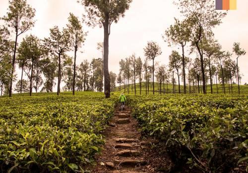 Path through Indian tea plantations