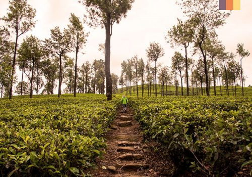 Picture of the tea plantations in India