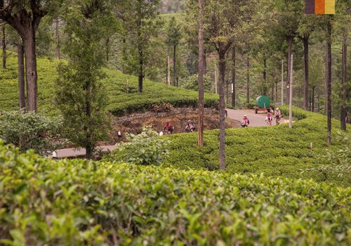 Cyclists ride through the tea plantations in India