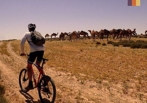 Cyclist rides along the camels in Jordan