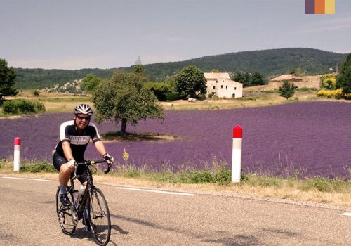 Cyclist rides along the lavender fields in Luberon
