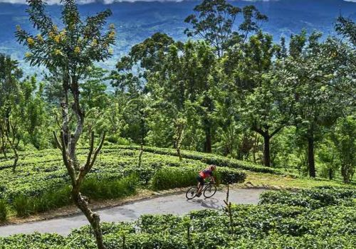 Cyclist rides along the plantations in Sri Lanka