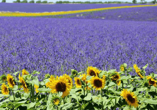 purple lavender flower field with yellow sunflowers