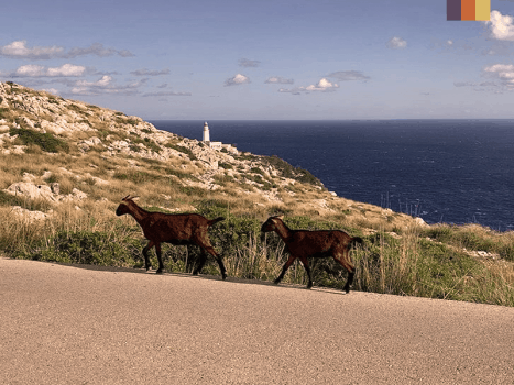 goats on the road to cap de formentor lighthouse in mallorca on the coast