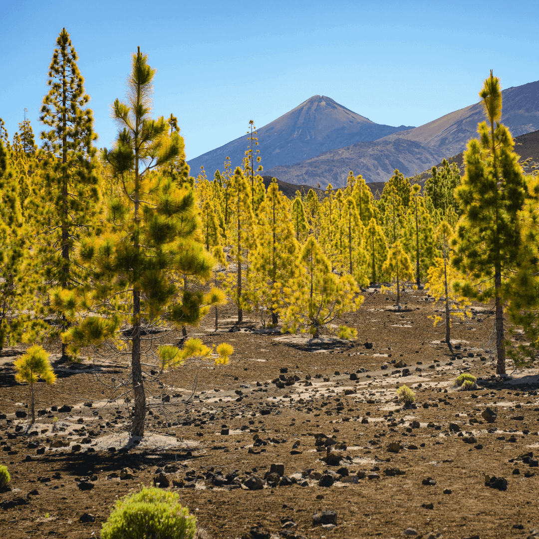 Green trees against the backdrop of Mount Teide in Tenerife